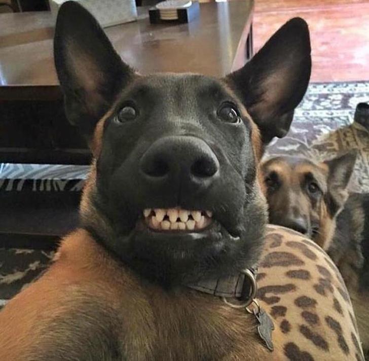 агрессия у собак, агрессия у собаки