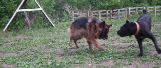 драка у собак, драка у собак на прогулке