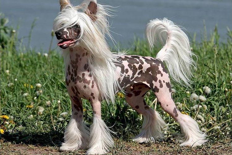 декоративная порода собаки
